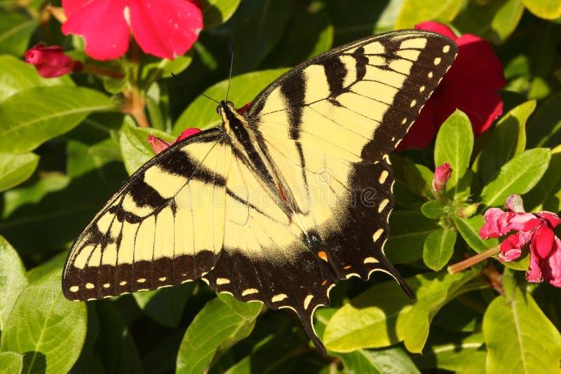男性老虎Swallowtail papilio glaucas 免版税图库摄影