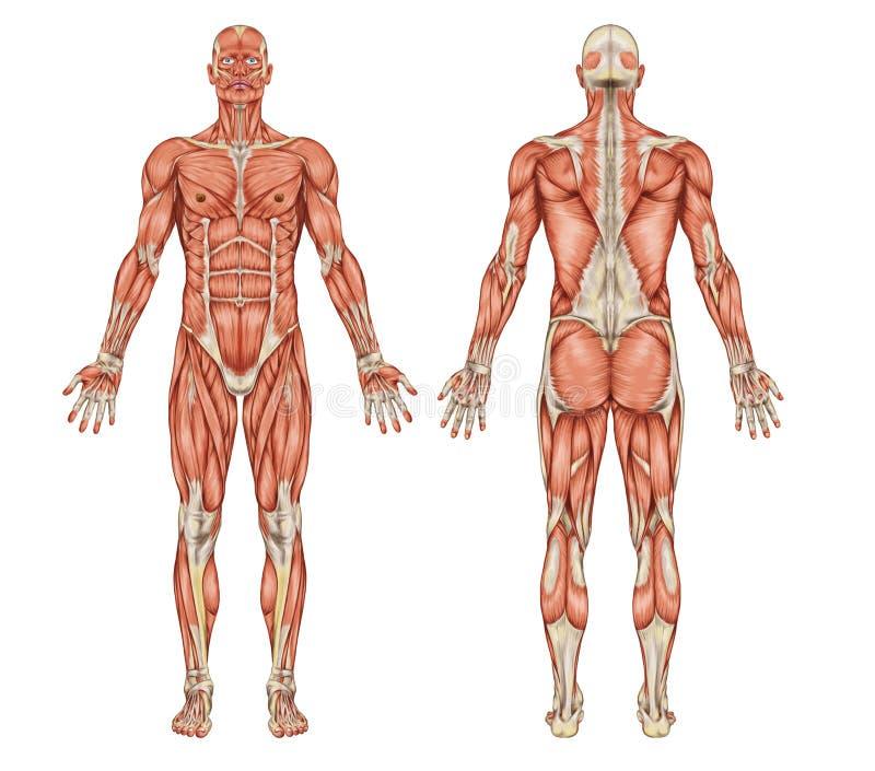 男性肌肉系统解剖学-后部和  皇族释放例证