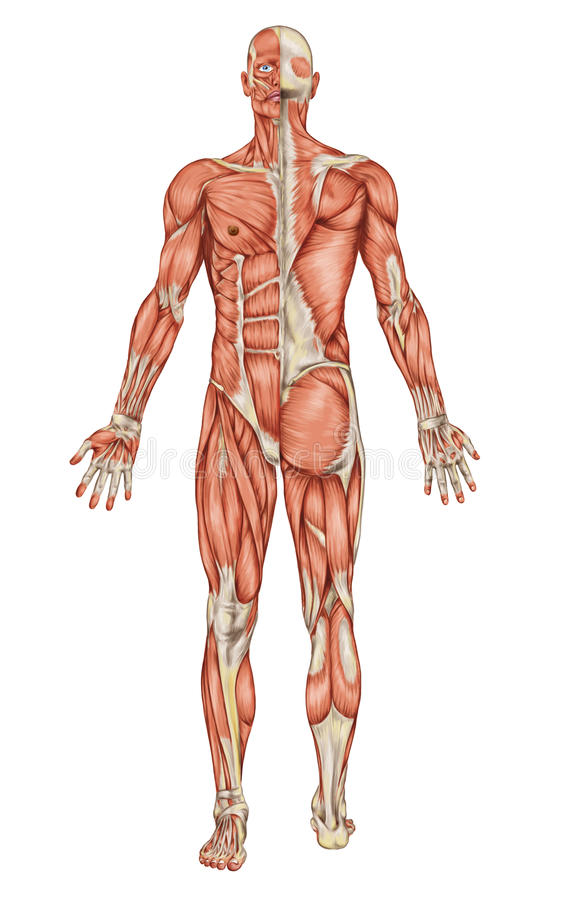 男性肌肉系统解剖学  库存例证