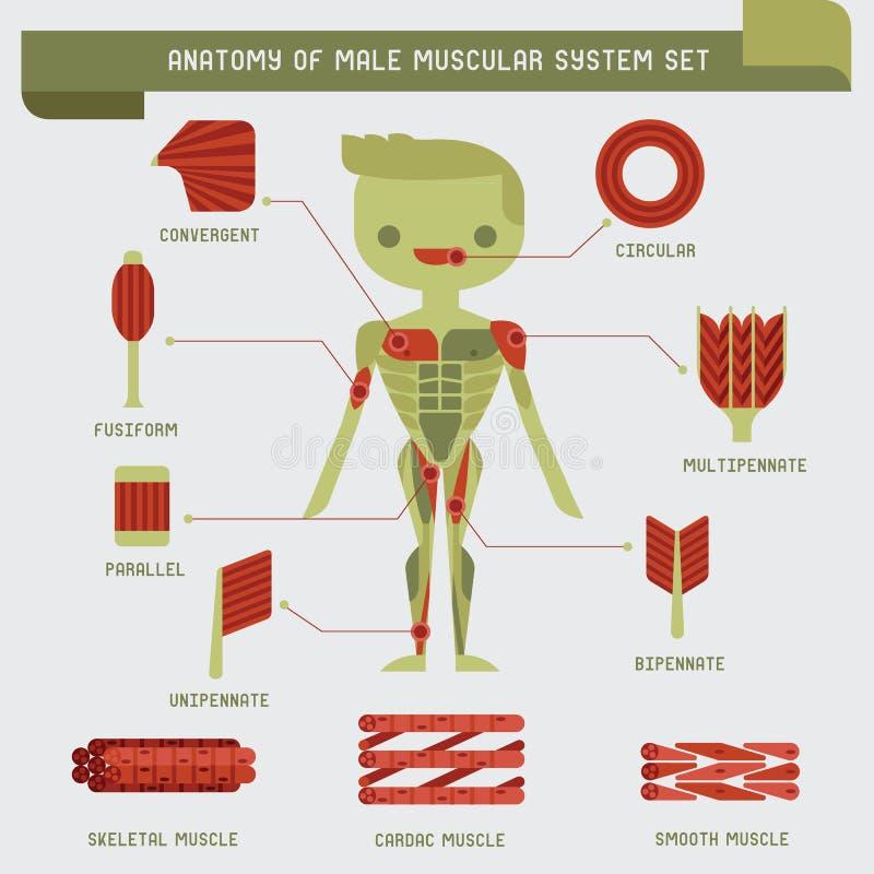 男性肌肉系统解剖学 向量例证