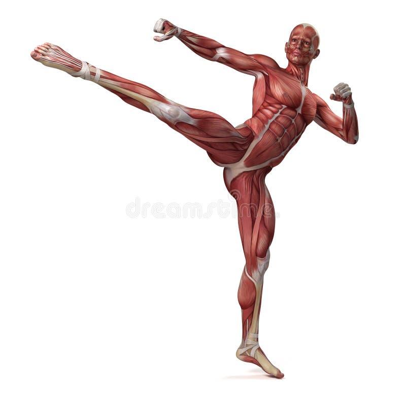 男性肌肉系统 皇族释放例证