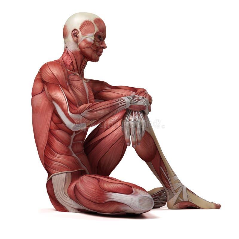 男性肌肉系统 向量例证