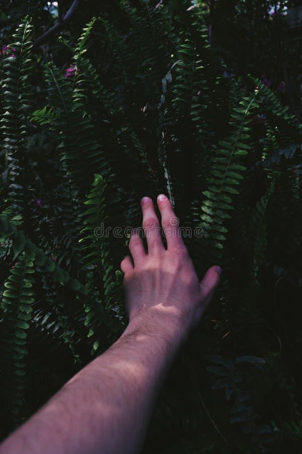 男性胳膊被舒展入接触绿色热带异乎寻常的植物的灌木 库存图片