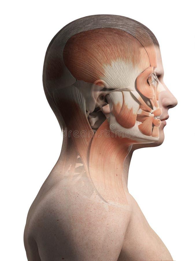 男性脸部肌肉 库存例证