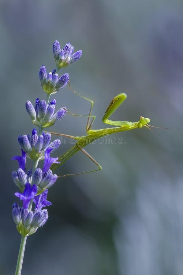 男性螳螂祈祷 库存图片