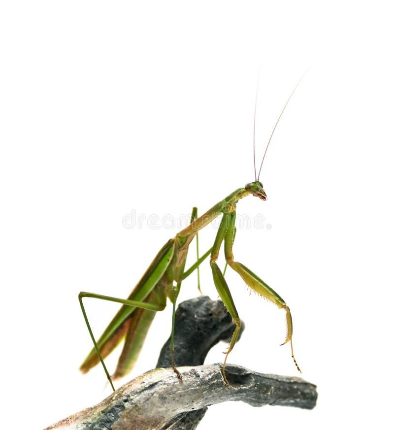 男性螳螂祈祷 免版税库存照片