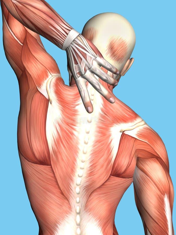 男性解剖学充满上部背部疼痛的 库存例证