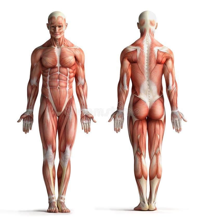 男性解剖学视图 向量例证