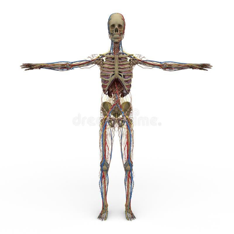 男性解剖学 皇族释放例证