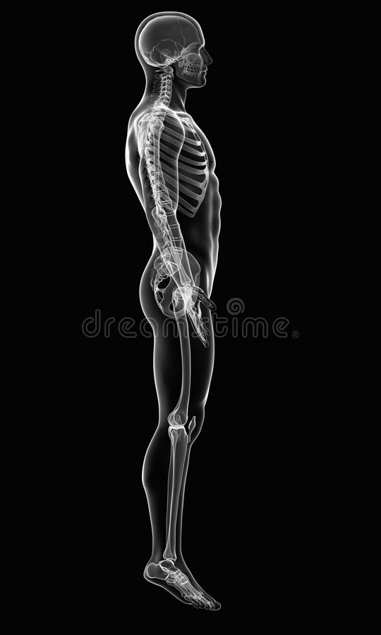 男性身体X-射线侧视图  库存例证
