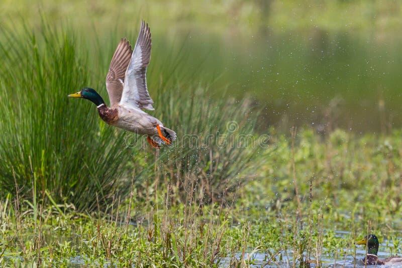 男性野鸭鸭子语录platyrhynchos离开传播翼 免版税库存照片