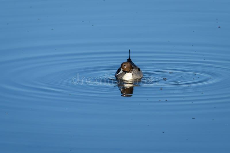 男性针尾鸭鸭子游泳和哺养在Nisqually全国野生生物保护区的海水 库存照片