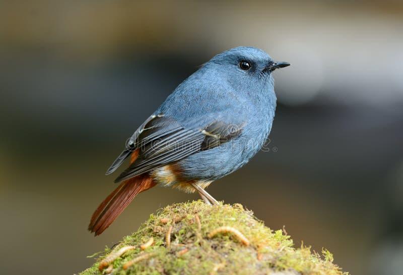 男性铅Redstart (Rhyacornis fuliginosa) 图库摄影