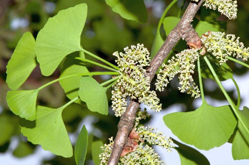 男性银杏树叶子和花粉锥体  免版税库存照片