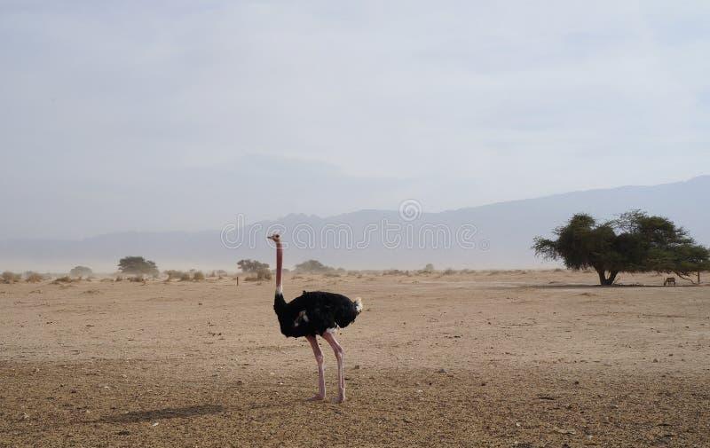 男性非洲驼鸟走 库存图片