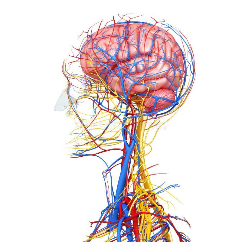 男性顶头循环系统侧视图  向量例证
