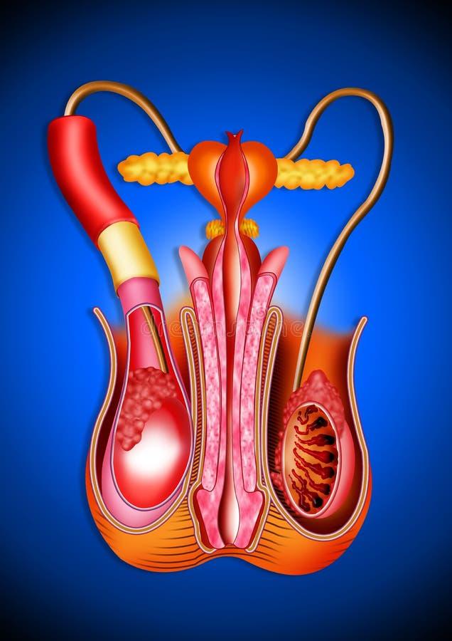 男性orgons 向量例证