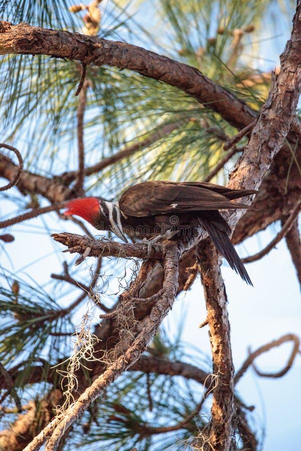 男性pileated啄木鸟鸟在杉树的Dryocopus pileatus 图库摄影