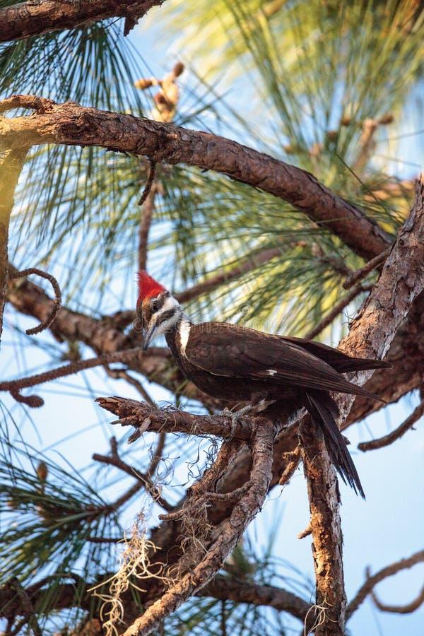 男性pileated啄木鸟鸟在杉树的Dryocopus pileatus 库存照片