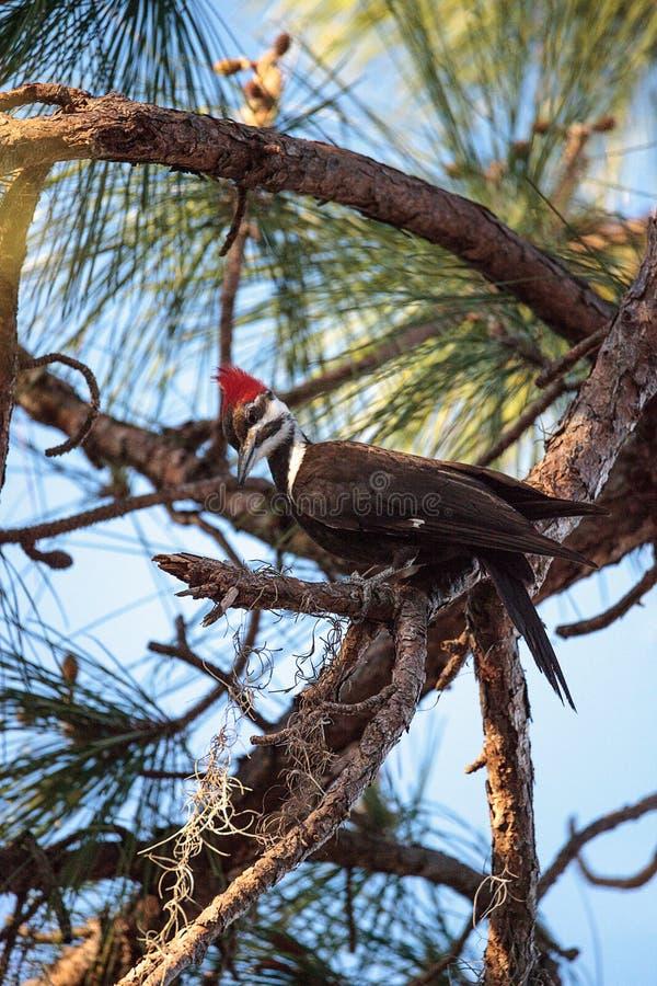 男性pileated啄木鸟鸟在杉树的Dryocopus pileatus 免版税图库摄影