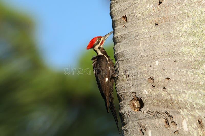 男性pileated啄木鸟鸟Dryocopus pileatus 免版税库存图片