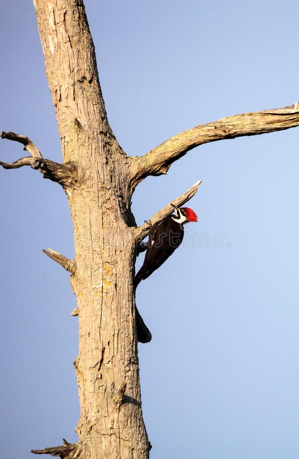 男性pileated啄木鸟鸟Dryocopus pileatus 库存照片