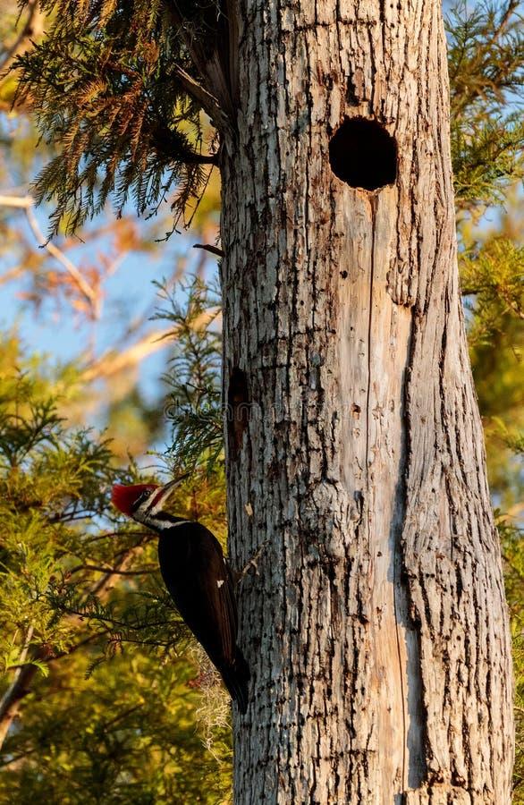 男性pileated啄木鸟鸟Dryocopus pileatus 图库摄影