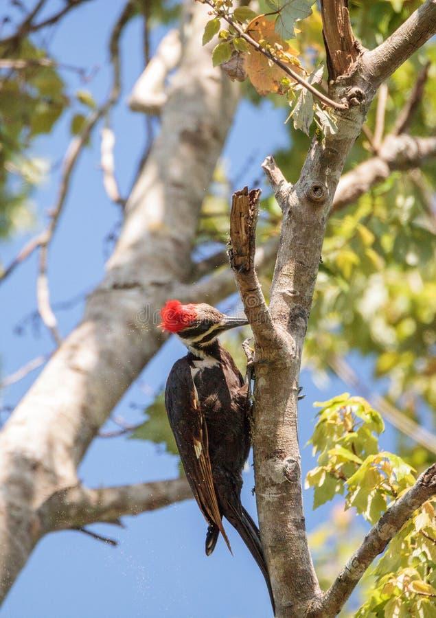 男性pileated啄木鸟鸟Dryocopus pileatus 库存图片