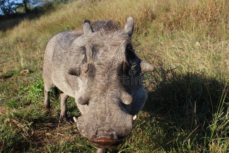Download 年轻男性warthog 库存照片. 图片 包括有 warthog, 龙舌兰, 他的, ,并且, 非常, 参见 - 30333026