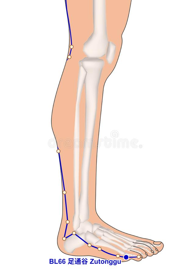 画与骨骼,针灸点BL66 Zutonggu, 3D 皇族释放例证