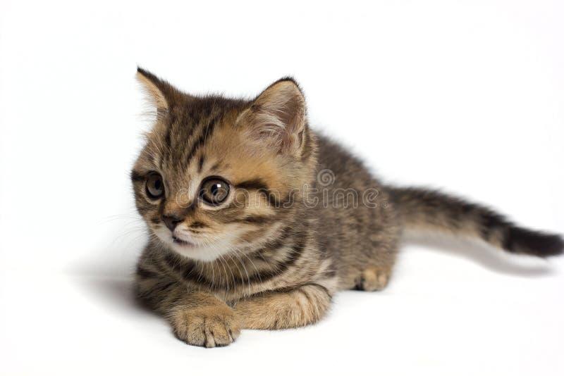 画象一惊奇的猫苏格兰平直,特写镜头,隔绝在白色背景 库存照片