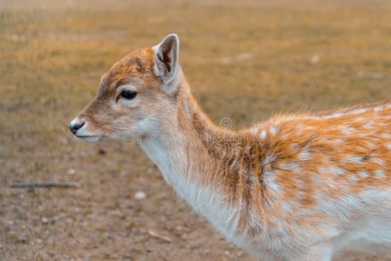 画象动物-与美丽的毛皮的幼小鹿 免版税库存照片
