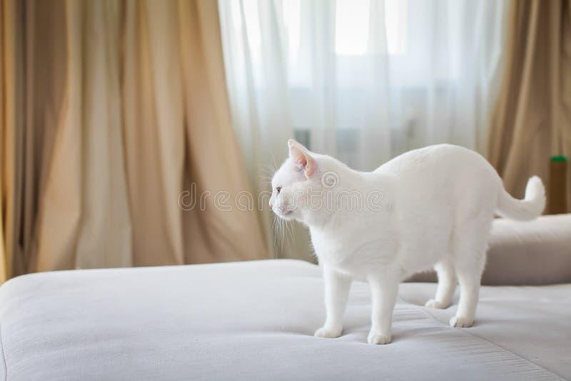 画象在灰色沙发的白色猫身分和调查距离 免版税库存图片