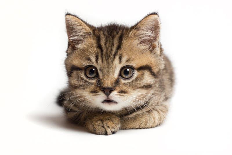 画象安静和殷勤猫苏格兰平直,特写镜头,在白色背景 免版税库存照片