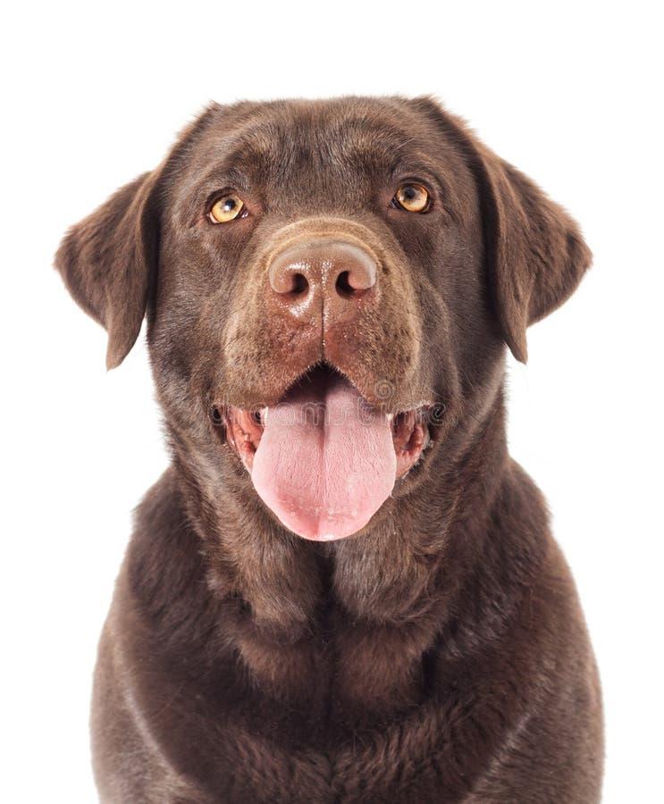 画象布朗拉布拉多狗看 库存图片