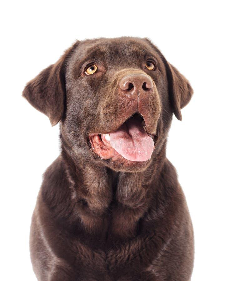 画象布朗拉布拉多狗 免版税库存图片