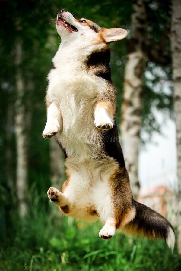 画象微笑的愉快的威尔士小狗狗跳 绿色公园和树在背景 免版税库存照片