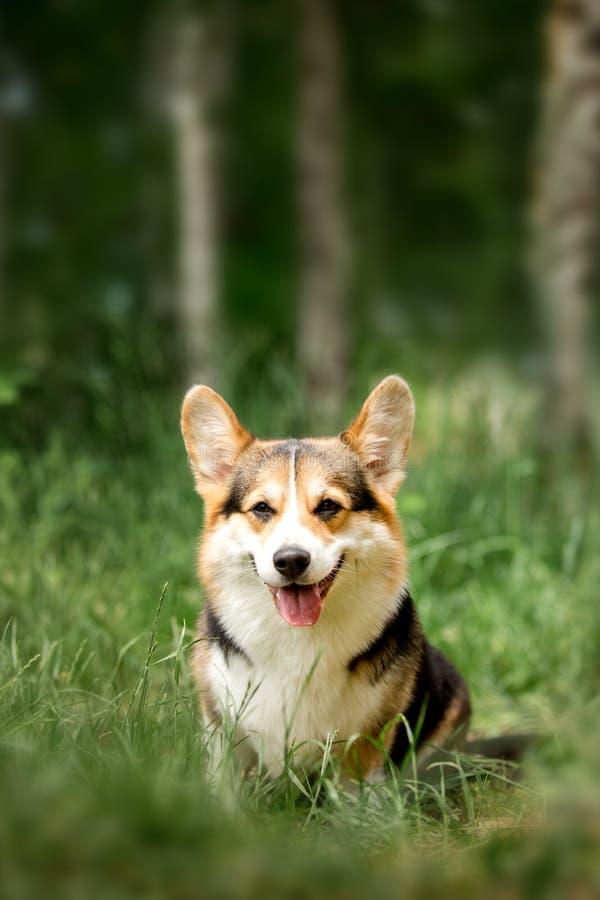 画象微笑的愉快的威尔士小狗狗 绿色公园和树在背景 免版税库存图片