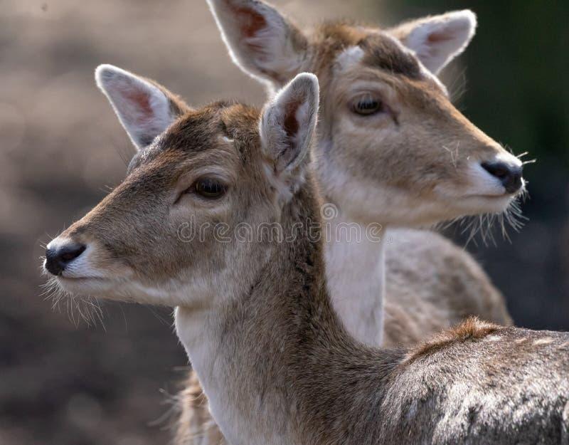 画象有两头小鹿母牛被弄脏的背景  库存图片