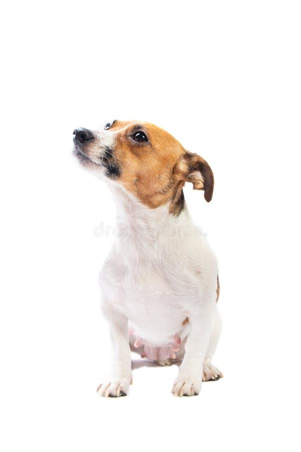 画象杰克罗素狗,坐在前面,被隔绝的白色背景 免版税库存图片