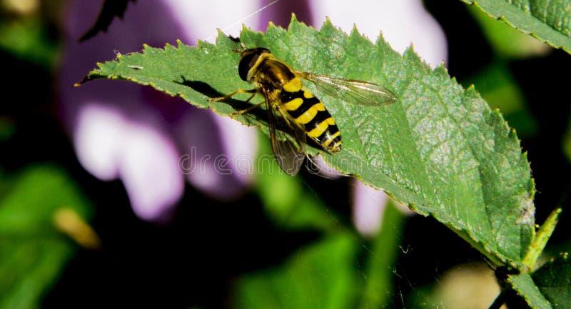 画象欧洲共同的黄蜂群居黄蜂寻常创造 库存照片