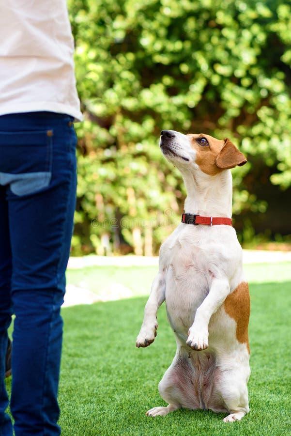 画象滑稽的狗坐后腿乞求与在祈祷的注视的眼睛 库存照片