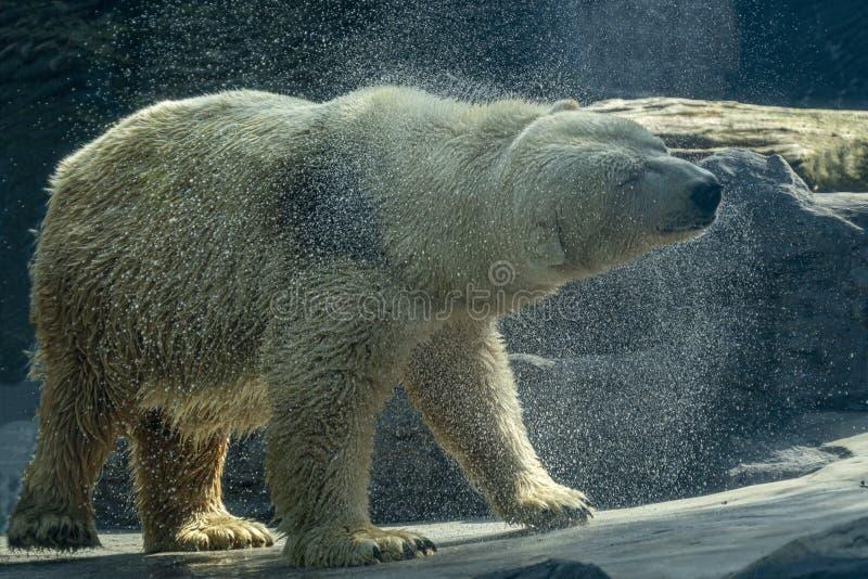 画象的北极熊关闭,当舒展时 图库摄影