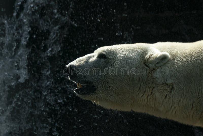 画象的北极熊关闭 库存照片