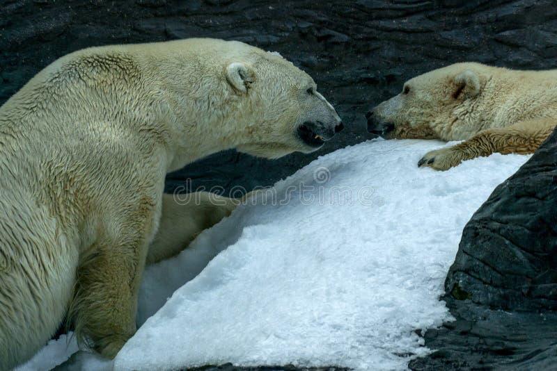 画象的北极熊关闭 免版税库存图片