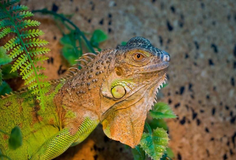 画象绿色异乎寻常的宠物鬣鳞蜥爬行动物  库存图片