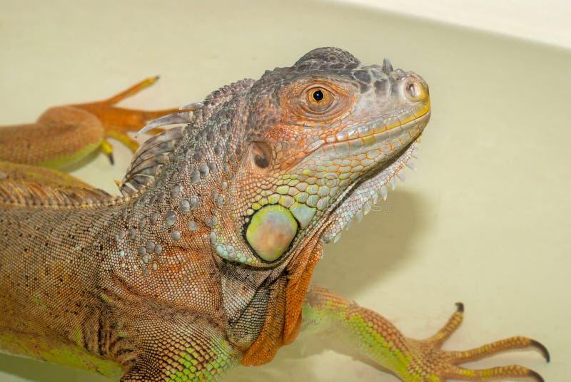 画象绿色洗每日浴异乎寻常的宠物的鬣鳞蜥爬行动物  库存照片