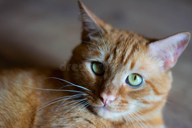 画象美丽的metis红色猫,特写镜头说谎,看照相机 免版税图库摄影