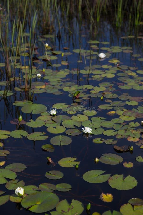 画象美国白色waterlilies开花自然和狂放在与芦苇和睡莲叶的深黑色反射性水中 库存图片