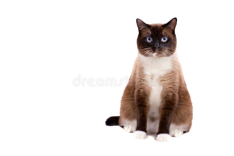 画象褐色雪靴暹罗肥胖猫坐一个地板和看照相机 : 免版税库存图片